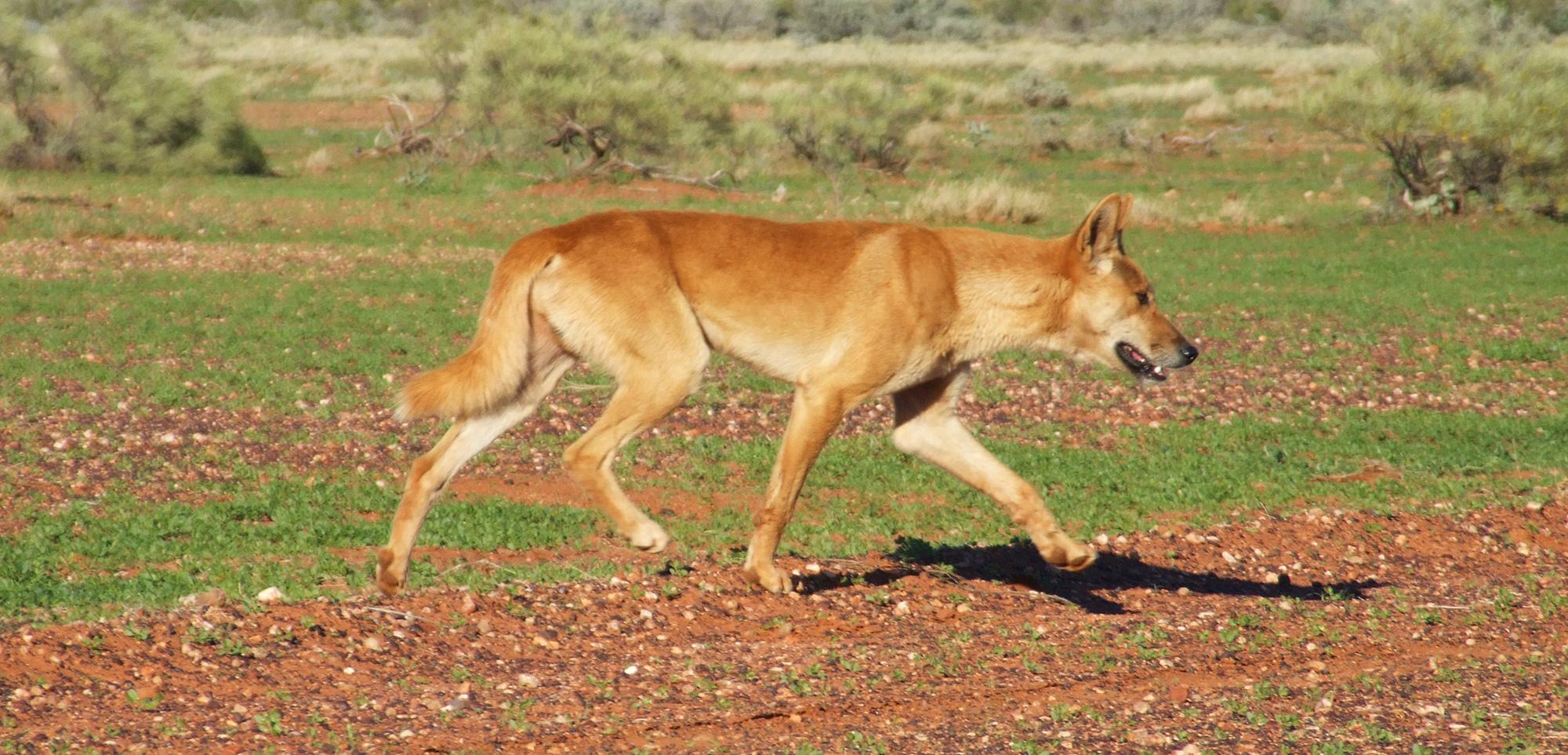 CWBA - Wild dingo